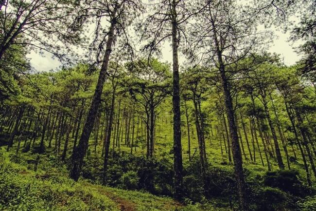 baguio pines