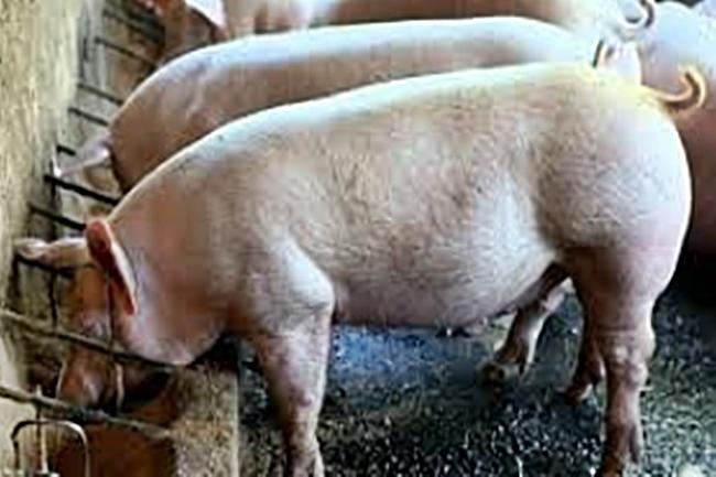 BABOY-PIG