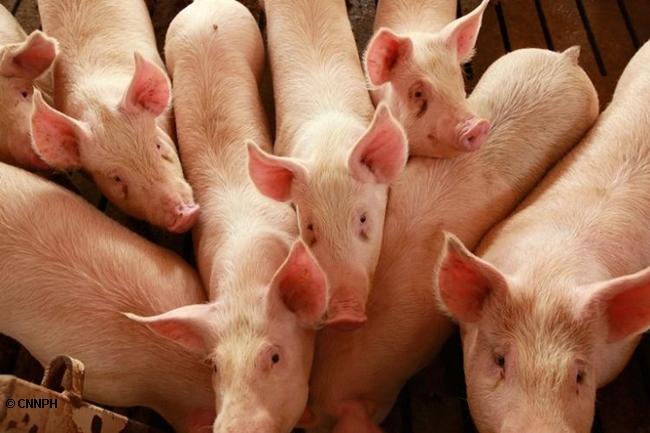 BABOY PIGS