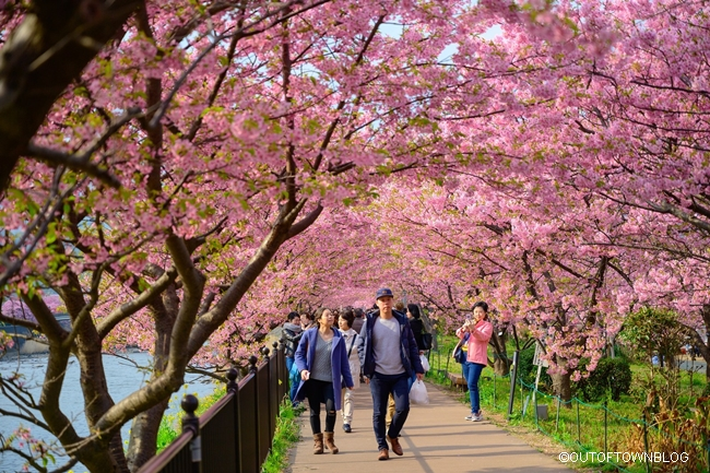 Beautiful Kawazu Sakura Festival , Cherry Blossom Full Bloom