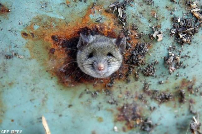 leptospirosis rat daga