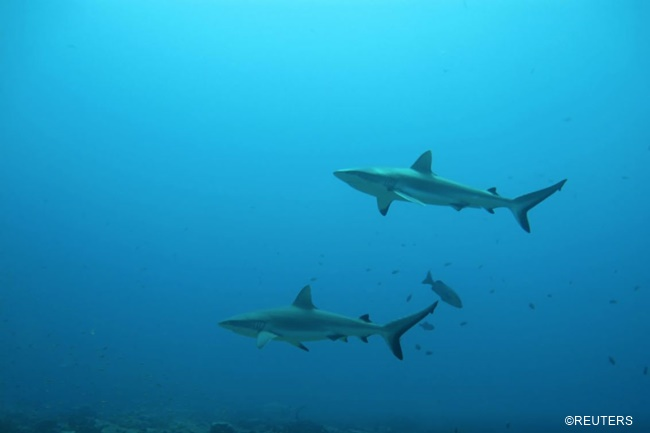 pating shark