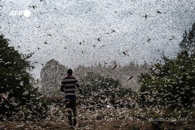 balang locust