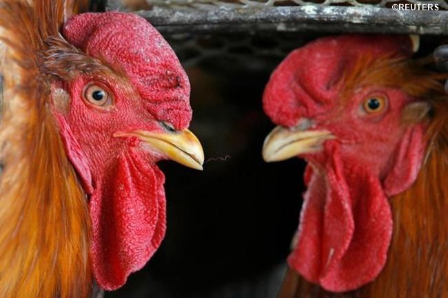 bird flu 1